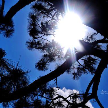 Sunflare through the Pine Tree