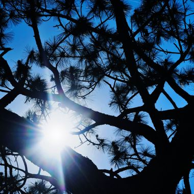 Sunflare in Large Pine