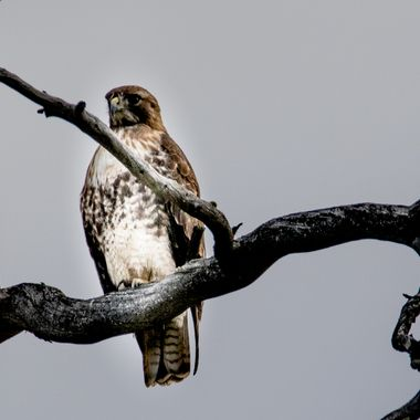 0P6A6519Rough Legged Hawk