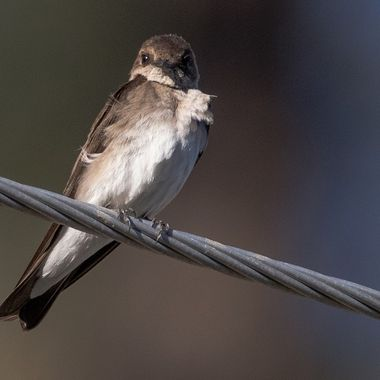 This Cliff Swallow lives in a sandy cliff near Merritt  B C