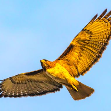 Red -Tailed Hawk-2280