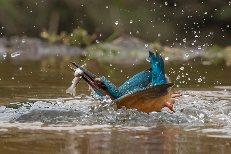 position is everything!- Kingfisher attempting to get airborne