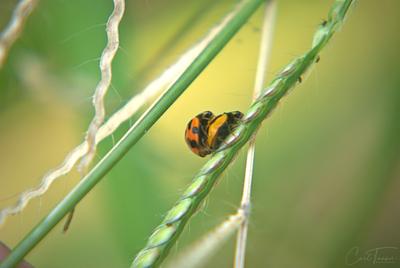 Ladybug Higgy Jiggey