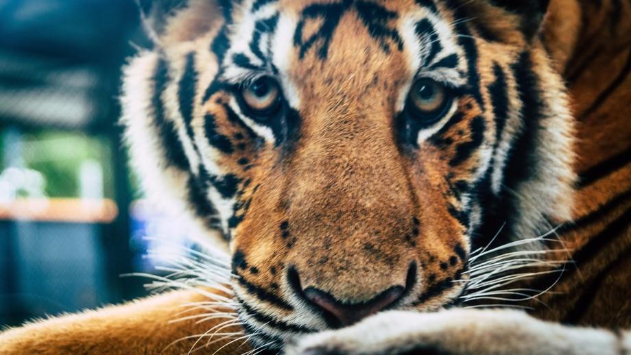 A tiger was staring at my camera