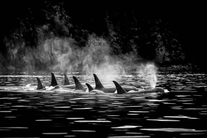 Resting Ocras B&W_ by Lpepz - Wildlife And Water Photo Contest