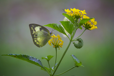The Common Grass Yellow Butterfly