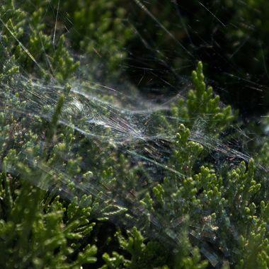Spiderweb on fir hedge