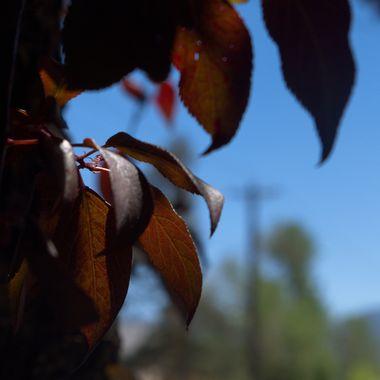 Dark Leaves Against a Blue Sky