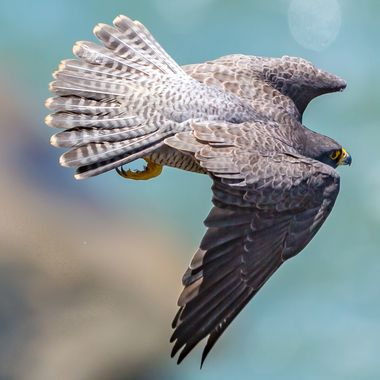 Adult male peregrine falcon flying out to hunt for food to feed his family.