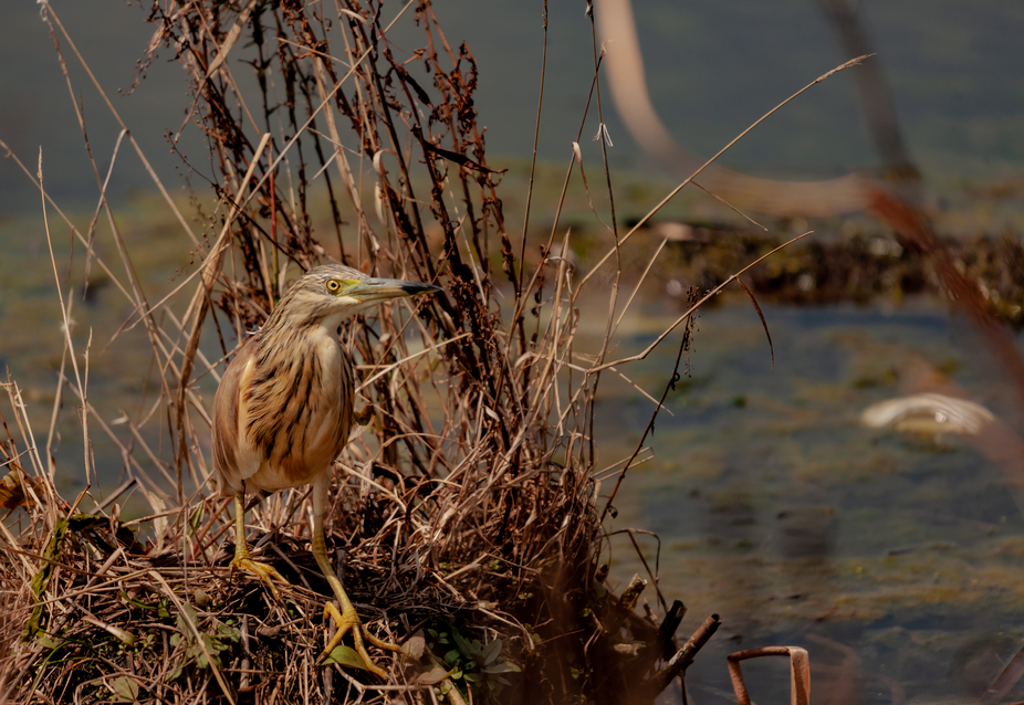 Captured this Squacco Heron at Marievale Bird Sanctuary in South Africa.