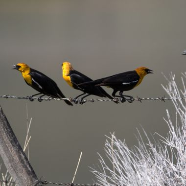 Yellowheaded Blackbirds near Stump Lake B C