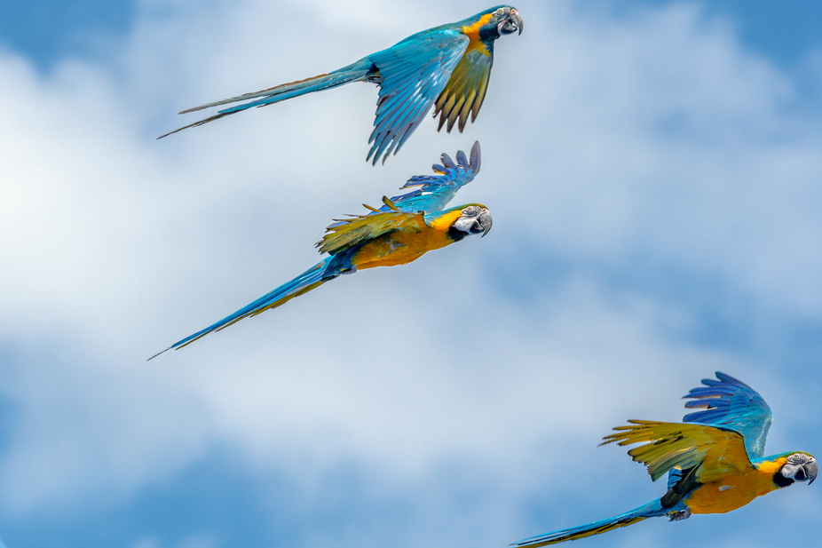 A pair of blue-and-yellow macaws and a blue throat macaw flying above Orlando, Florida. (Yeah, OK...