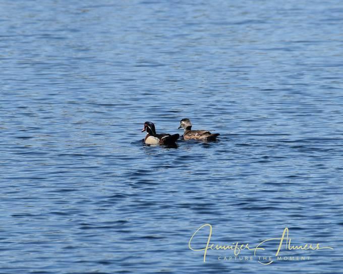 Two Lone Ducks
