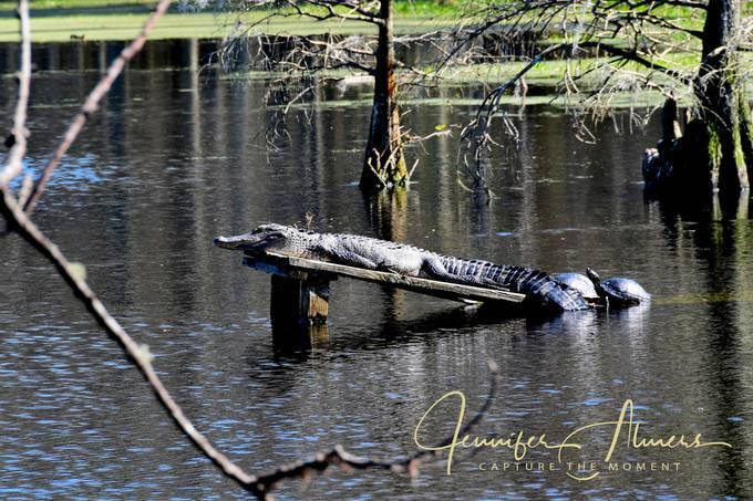 Alligator and Turtles