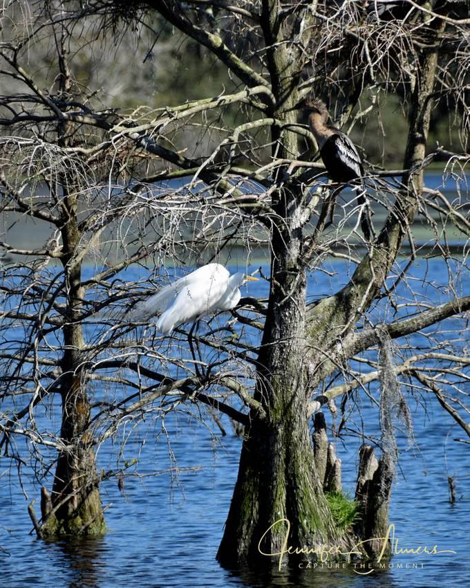 Egret and Anhinga