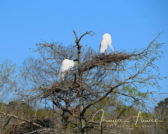 Egrets Tending the Nest