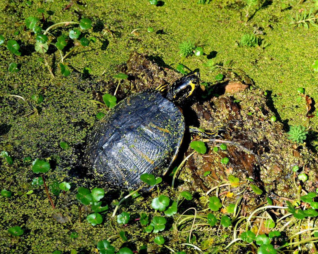 Turtle Emerging from the Swamp Water
