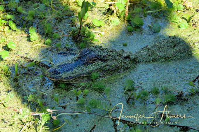 Alligator in the Shadow of a Man