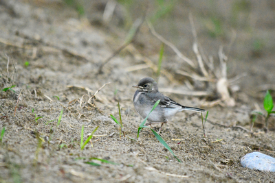 Proud As A Baby Wagtail Can Be
