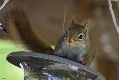 DSC_4154c untouched red squirrel