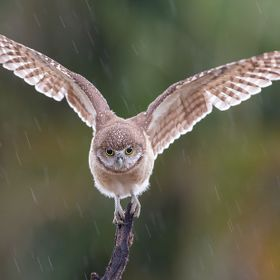 During the day these Burrowing owls are usually not very active, but add a heavy down poor and they really get active. To get the rain to blur I ...