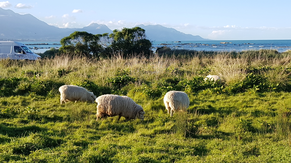 Sheep trying to eat all that green grass that grows in New Zealand.