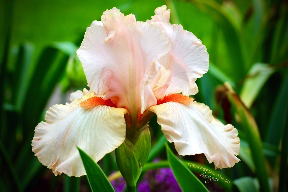 Beautifully delicate peach colored Iris.