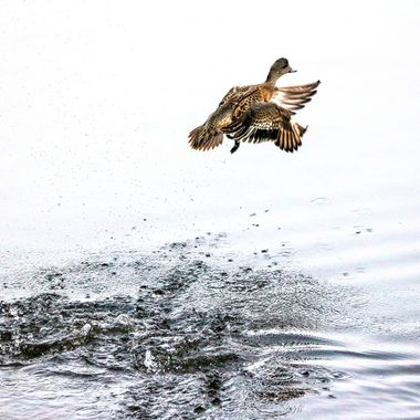 A duck taking off