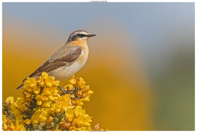 The Wheatear - A Summer Visitor