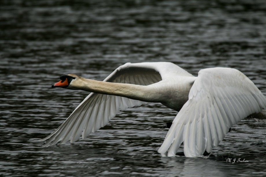 swan acushnet -1