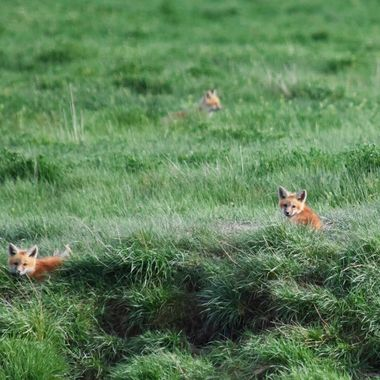Fox kits watching
