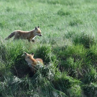 Fox playing