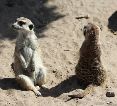 Two meerkats alers