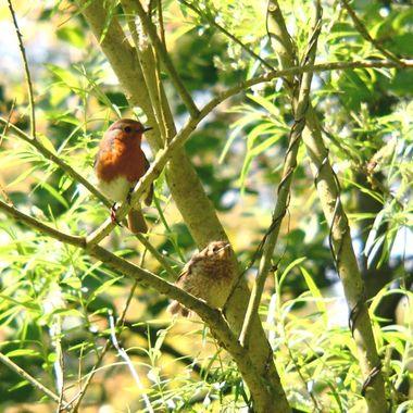 Robin Fledgling and Adult Robin