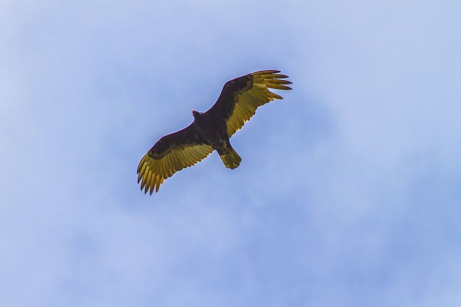 Flying Turkey Vulture3