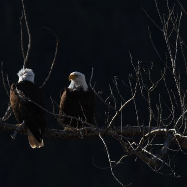 Two bald eagles sitting on a branch. Their nest was about 20 feet away