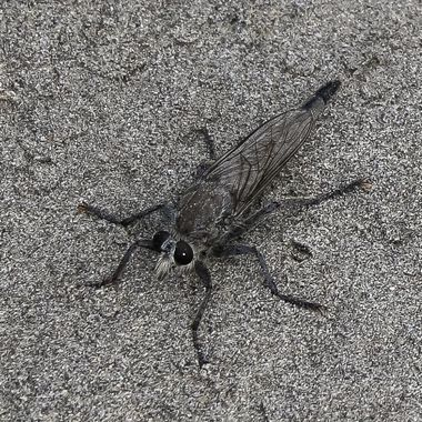 Robber fly 2