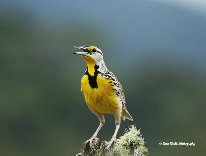Eastern Meadowlark by lizziemellis - It is Yellow Photo Contest
