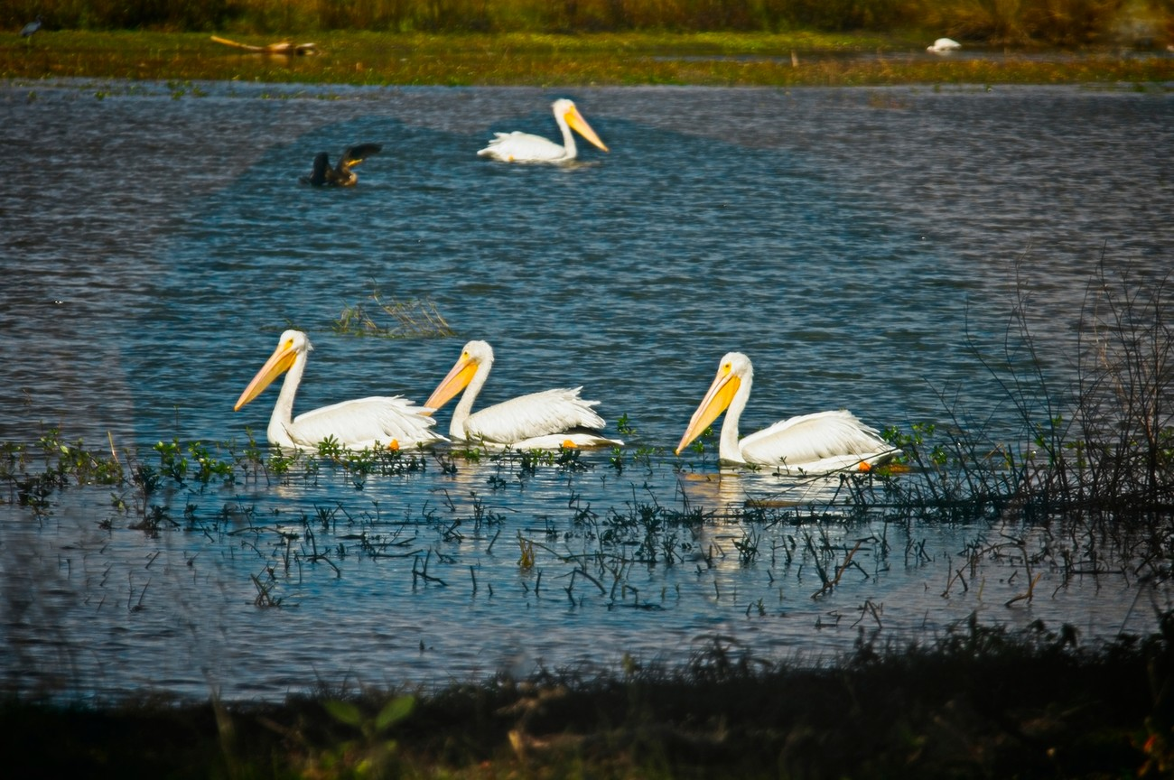 Beautiful White Pelicans stopping during migrating for a rest.