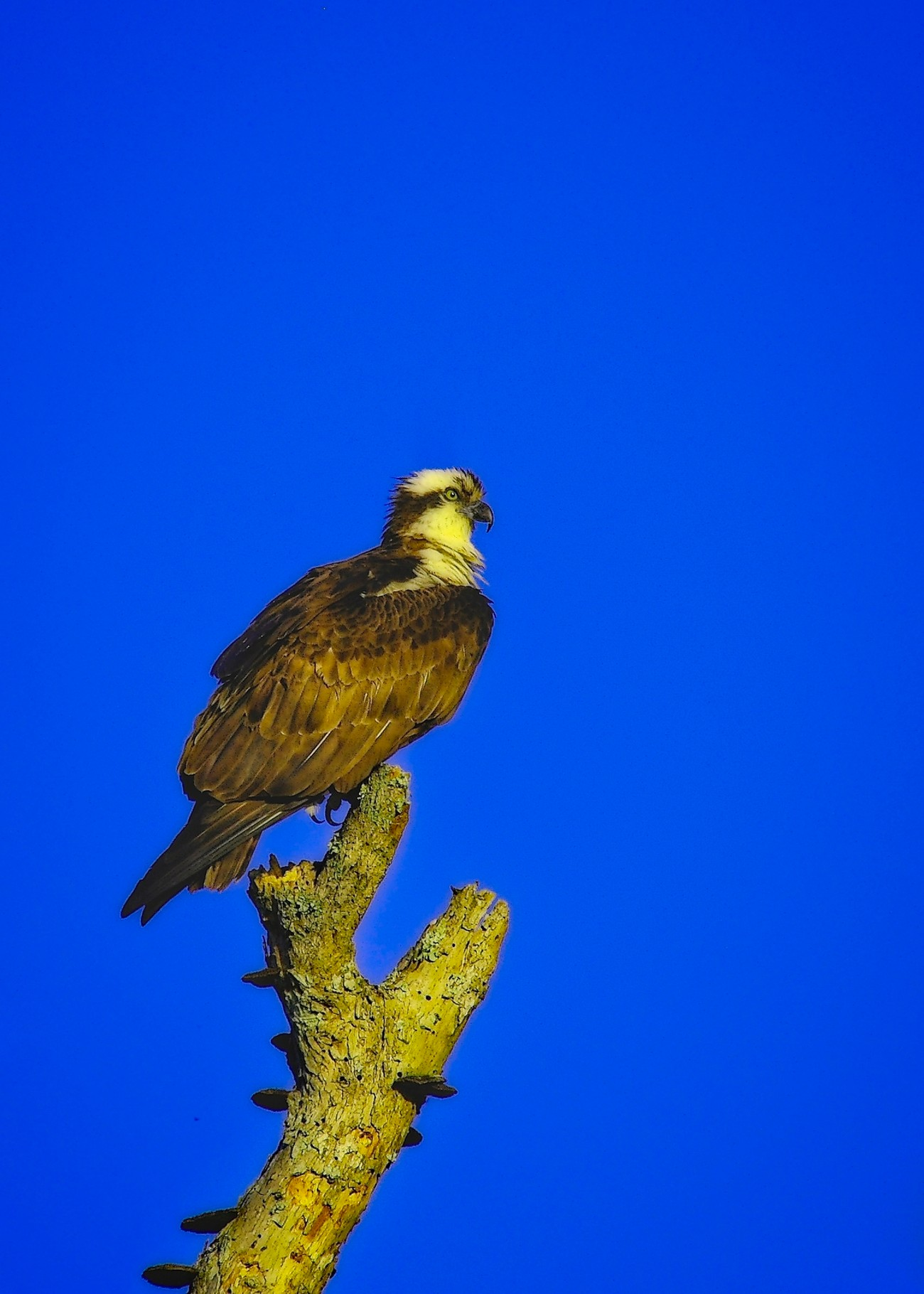 Osprey on dead tree looking for his next fish.
