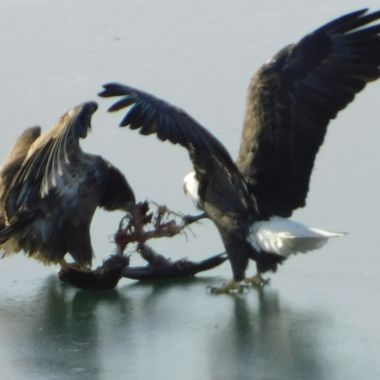 The eagles were at our Lake for the Snow Geese and Swan migration this last winter.