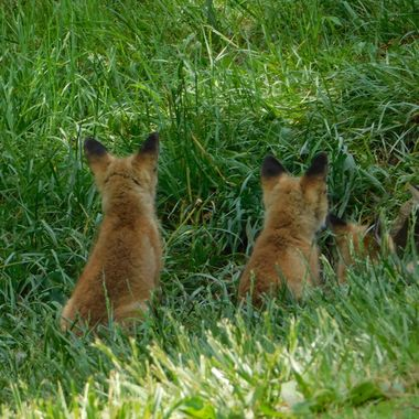 While driving through a small town I spotted these little foxes.