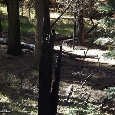charcoaled stump