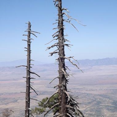 Swift Trail arrow trees