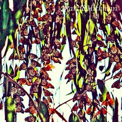 Butterflies  #naturegeography #naturephotography #nature #butterflies #monarchbutterfly #monarch #pacificgrove #california #californiaadventure #wildlifeplanet #wonderful_places #earthfocus #canon_photos #capture #capture_today #photooftheday #fantastic_e