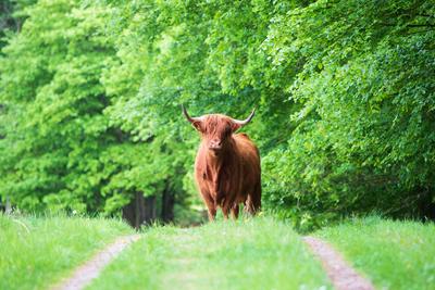 Silkeborg Skovene Vesterskov. A Cow