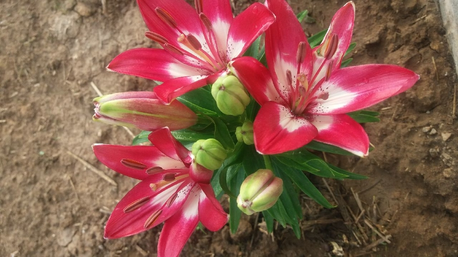 Lilies that my daughter planted. Colorful and beautiful. If You look really close....you can see ...