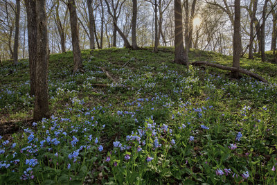 Bluebell Morning _MG_0629