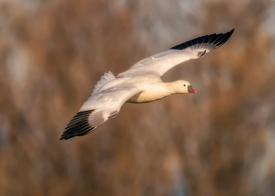 ross goose gliding in