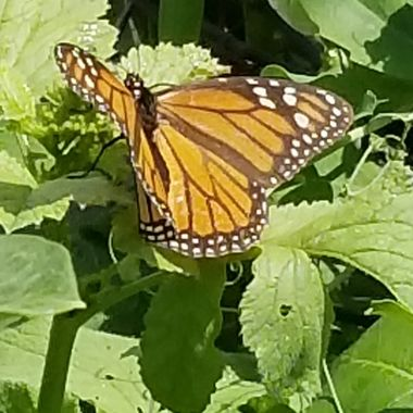 A close up of that monarch butterfly